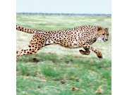 Fototapeta Gepard L-216   220x220 cm Fototapety
