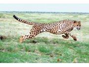 Fototapeta Gepard XL-217   330x220 cm Fototapety