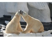Fototapeta Lední medvědi XL-219   330x220 cm Fototapety