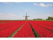 Fototapeta Tulipány a větrný mlýn XL-186 | 330x220 cm Fototapety