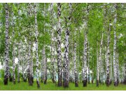 Fototapeta AG Břízový les FTNS-2448 | 360x270 cm Fototapety
