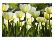 Fototapeta na zeď Bílé tulipány | MS-5-0127 | 375x250 cm Fototapety