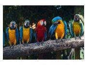 Fototapeta na zeď Barevní papoušci Ara | MS-5-0223 | 375x250 cm Fototapety