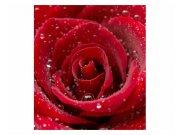 Fototapeta na zeď Červená růže | MS-3-0138 | 225x250 cm Fototapety