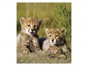 Fototapeta na zeď Gepardi   MS-3-0229   225x250 cm Fototapety