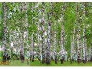 Fototapeta AG Břízový les FTS-1304 | 360x254 cm Fototapety