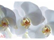 Fototapeta AG Bílá Orchidej FTNXXL-0466   360x270 cm Fototapety