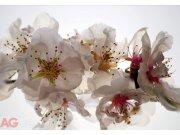 Fototapeta AG Třešňový květ FTXXL-0145 | 360x255 cm Fototapety skladem